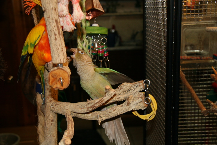 Two conures fighting